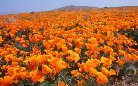 Celebrate the State Flower at the California Poppy Festival