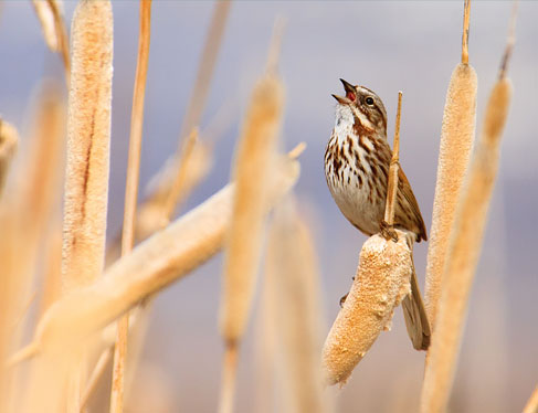bird standing on tall wheats & chirping