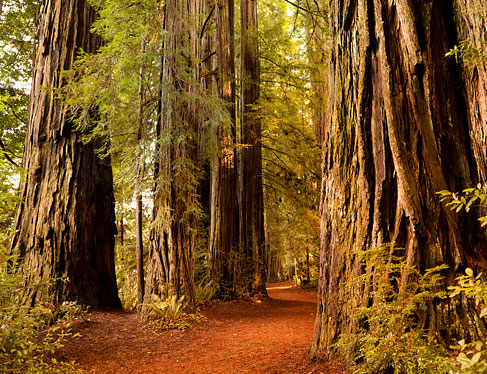 Forrest with California Redwoods trees