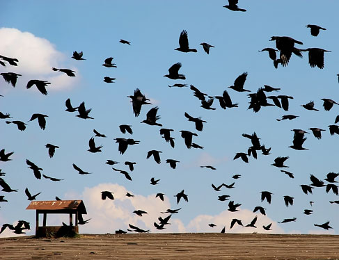 Group of black birds flying in the sky