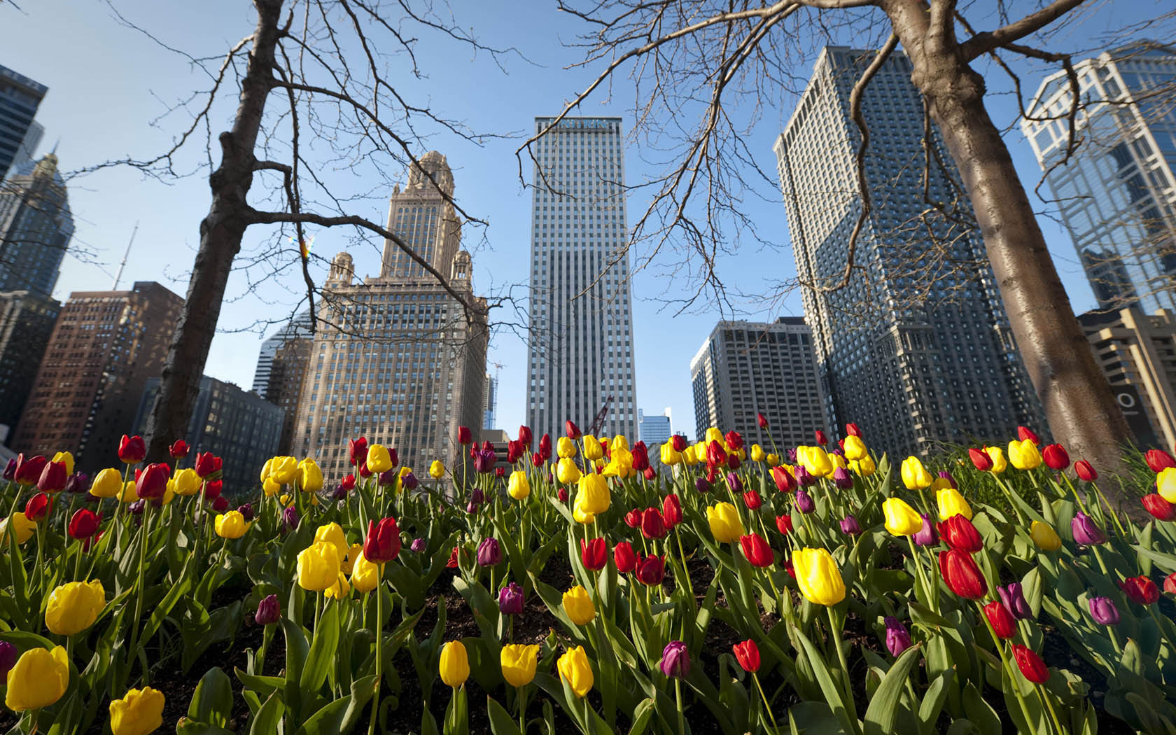 Chicago-Architecture_CC_color-tulips.jpg