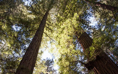 Staring up at tall redwood trees