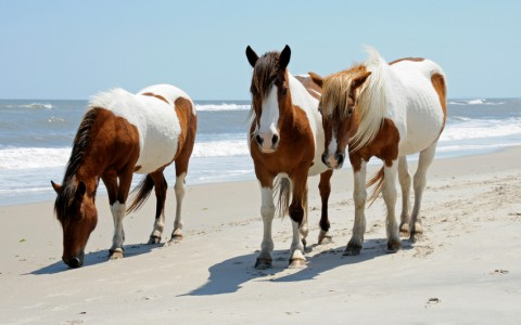 Assateague Wild Ponies!