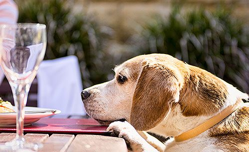 Dog laying head down on outdoor wooden table