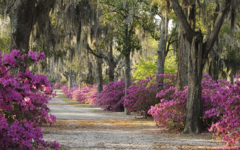 spanish moss filled trees and fuschia bougainvillea lining a side walk