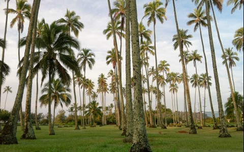 Hawaiian Palms