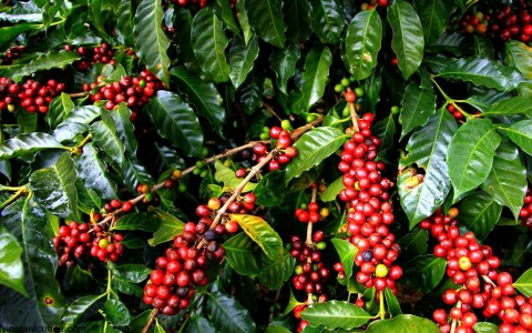 A Must for Coffee Lovers: A Walking Tour of Kauai Coffee Company