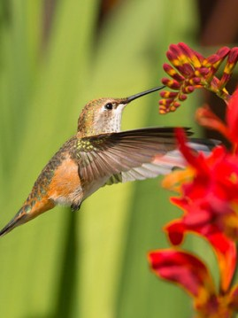 Alaska's Hummingbird Festival: Return of the Rufous
