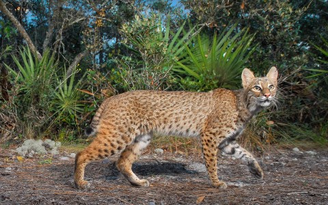 Spot the Bobcat in Sanibel