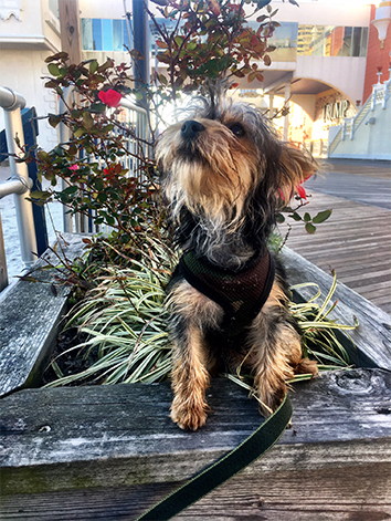 Portrait of Yorkshire dog sitting in plants enclosed with wood