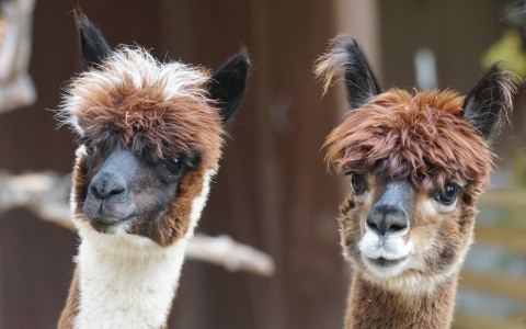 The Well-Mannered Alpacas of Bryan