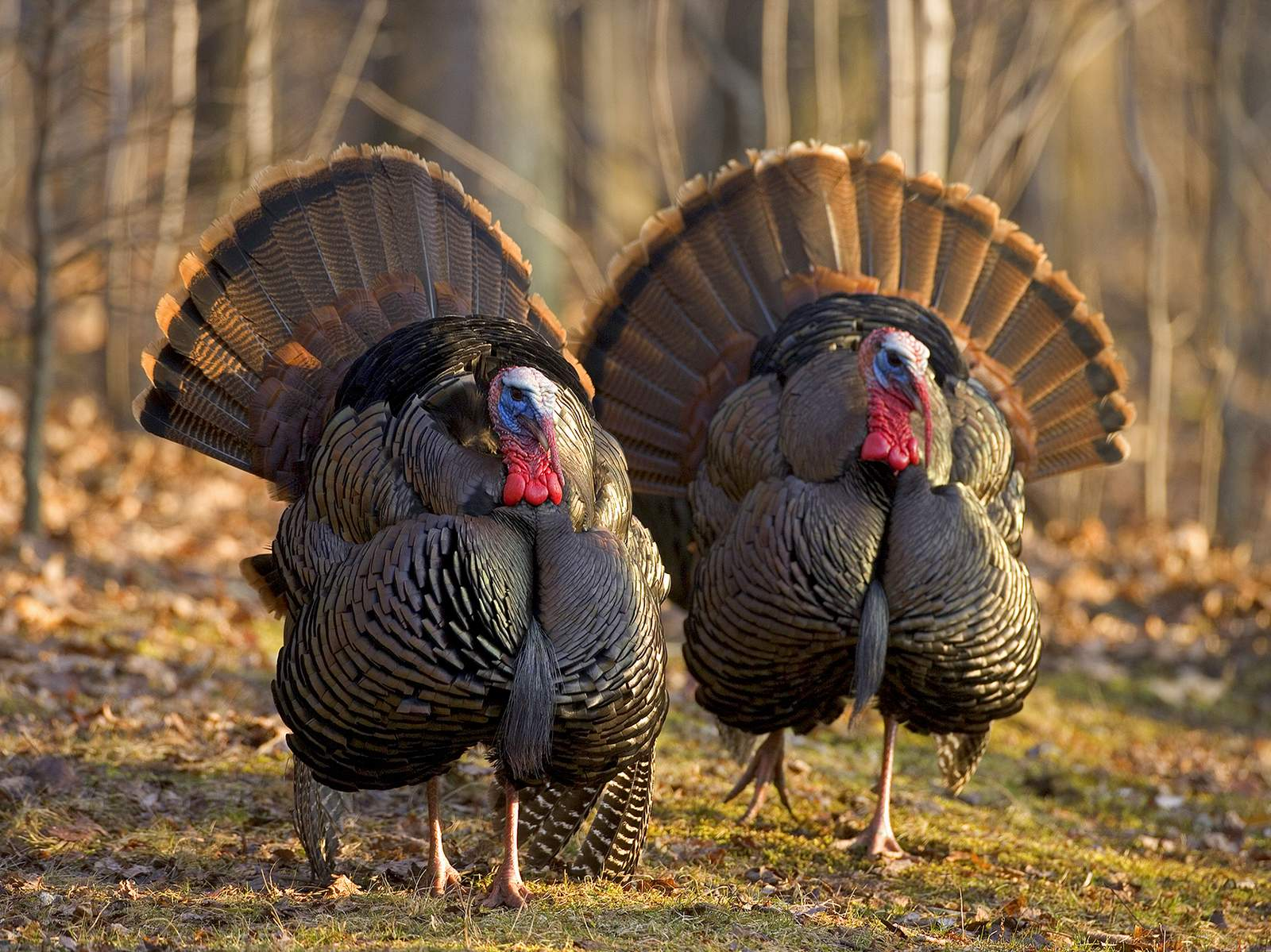 Take the Family on a Wild Turkey Tour