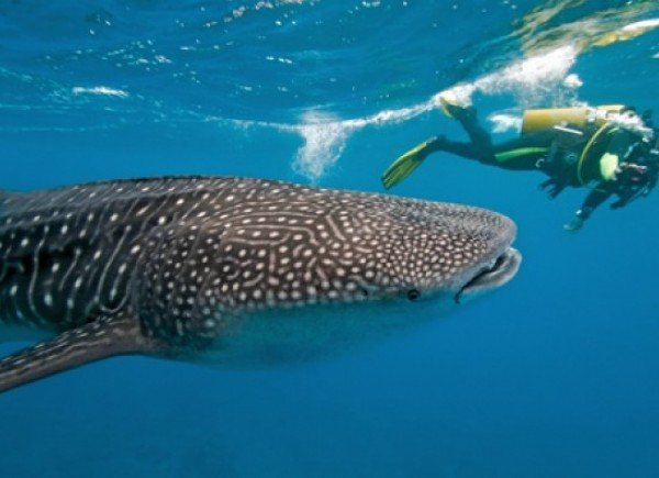 Swim With the (Whale) Sharks